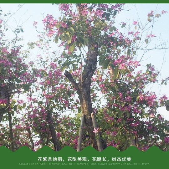 洋紫荊φ15-25公分批發13599656861