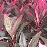 红叶朱蕉 铁树
