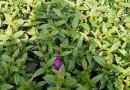 巴西野牡丹 紫花野牡丹、艳紫野牡丹   高20-30公分