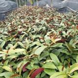红背桂批发  红背桂袋苗价格(高50cm)