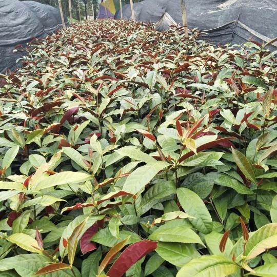 紅背桂批發  紅背桂袋苗價格(高50cm)