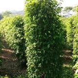 垂叶榕柱2米大量供应批发