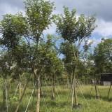 12公分黄花风铃木  黄金风铃木、巴西风铃木  黄花风铃木价格