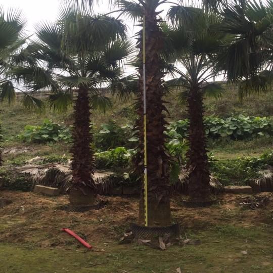 老人葵價格  絲葵 加州蒲葵 華盛頓棕櫚(華棕桿高3米)老人葵批發