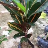 变色木变叶木大量批发13599656861