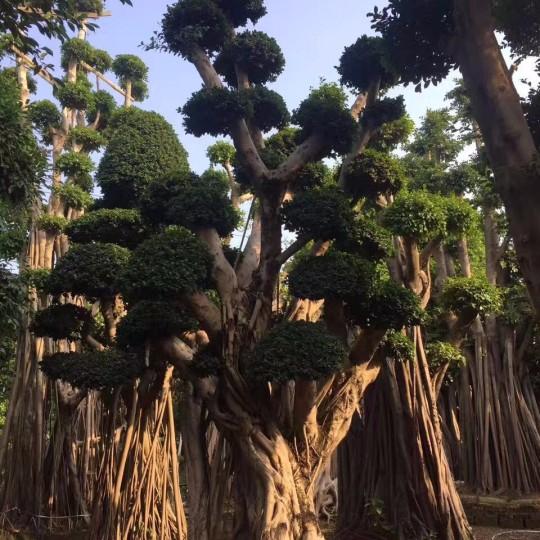 澳门金沙赌场选桩景 红皮榕树  榕树价格 米径30公分澳门金沙赌场选