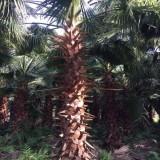 老?#19997;? 丝葵 加州蒲葵 华盛顿棕榈(华棕杆高2米)