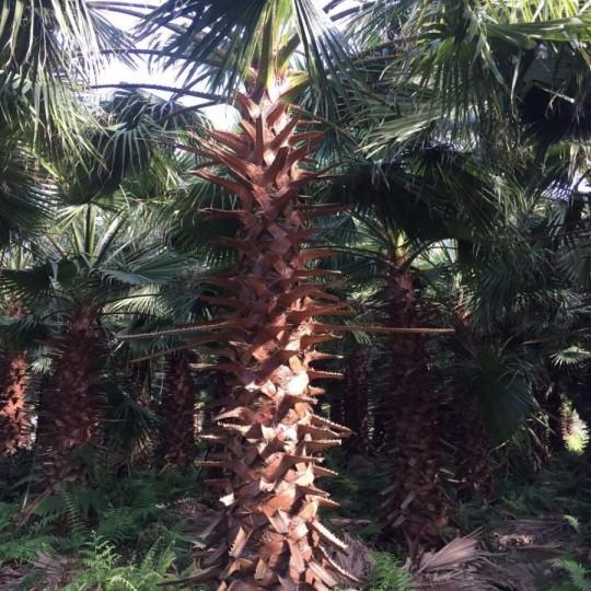 老人葵  丝葵 加州蒲葵 华盛顿棕榈(华棕杆高2米)