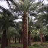 中东海枣银海枣杆高1米-6米大量批发