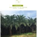 中东海枣银海枣杆高1米-4米大量批发