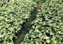 澳洲鹅掌柴鸭脚木大量批发13599656861