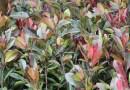 红叶石楠各种规格批发13599656861