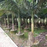 假槟榔各种规格批发13599656861