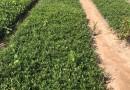 小叶栀子花  雀舌栀子、小花栀子、高25-30公分小叶栀子花