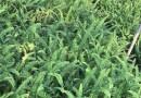 排骨草 肾蕨 高35公分 各规格批发