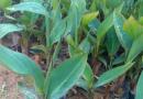 红花美人蕉各种规格批发13599656861