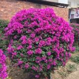 高1米5紫色球三角梅