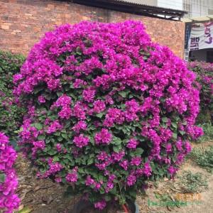 三角梅紫色球  三角梅球  高1米5紫色球三角梅   云南紫三角梅