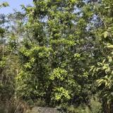 3米高柚子树
