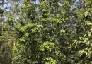 柚子树各种规格批发13599656861