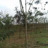 5公分合欢树