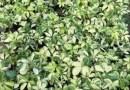 澳洲鹅掌柴鸭脚木25高批发13599656861