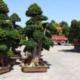 小叶榕榕树造型桩景批发13599656861