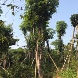 芒果树各种规格批发13599656861