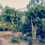 荔枝树各种规格批发13599656861