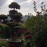 小叶榕榕树造型桩景各种规格批发13599656861