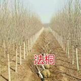 速生法桐(5公分-20公分)