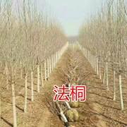 山东速生法桐(5公分-20公分)基地批发