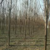 8公分楸树,