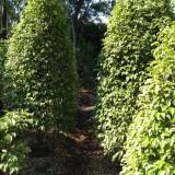 花叶垂叶榕大量供应