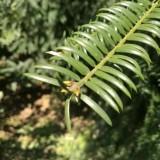 冠军香榧树