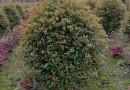 大型小叶榕