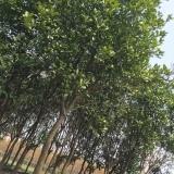 柚子树/苗