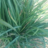 细叶麦冬草草基地直供