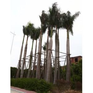 大王椰子大量供应13599656861