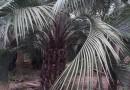 布迪椰子大量供应13599656861