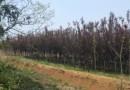 10公分台湾栾树价格 台湾栾树销售基地