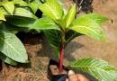 大王椰子(杆高3米)