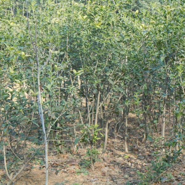 桂花(3-4公分地径 柳叶苏桂  腾地苗 12元/棵)