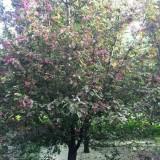 海棠丰盛好苗木基地