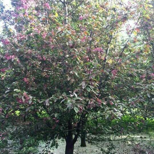 海棠豐盛好苗木基地