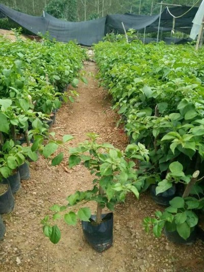 红花三角梅苗 三角梅袋苗 桂丽园艺大量批发供应