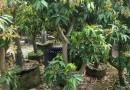 荔枝树苗  荔枝苗  高1米-1.5米荔枝树苗价格