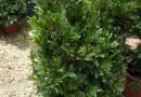 神秘果树  高80cm神秘果苗  变味果