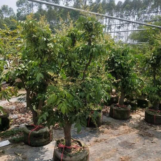 黄皮果树  地径5-8公分黄皮果树苗