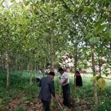 富贵榕  地径10公分富贵榕  富贵榕价格